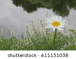 Single Daisy Flower By The Pon...