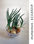 young sprouting green onions in ...