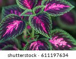 Pink Tropical Plant   Coleus