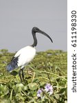 Small photo of African sacred ibis standing on the boggy shore of Lake Albert among the green grass