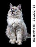 Stock photo funny little blue eyed white cat isolated on black 611232413