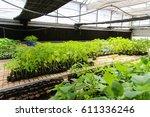 Indoor Papaya Plant Farming