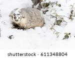 a badger hunts for prey in a... | Shutterstock . vector #611348804