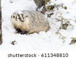 a badger hunts for prey in a... | Shutterstock . vector #611348810