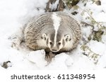 a badger hunts for prey in a... | Shutterstock . vector #611348954