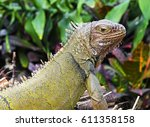 iguana close up portrait with... | Shutterstock . vector #611358158