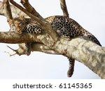 ������, ������: African Cheetah predator sitting