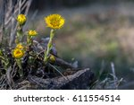 Tussilago Farfara First Spring...