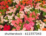 colorful begonia flowers | Shutterstock . vector #611557343