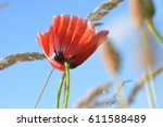 A Poppy Under Blue Skies