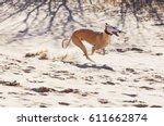 spanish greyhound running on a... | Shutterstock . vector #611662874