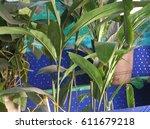 cardamom  elaichi  botanical... | Shutterstock . vector #611679218