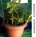 Small photo of Bhuitita, Botanical name: Curanga amara, Family: Scrophulariaceae