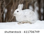 Stock photo white snowshoe hare in winter 611706749