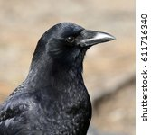 Small photo of American Crow Profile