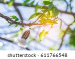 the pods bombax ceiba l  bombax ... | Shutterstock . vector #611766548