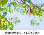 the pods bombax ceiba l  bombax ... | Shutterstock . vector #611766554