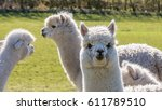 a white llama walking toward... | Shutterstock . vector #611789510