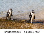 two african penguins going for... | Shutterstock . vector #611813750