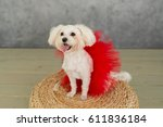 maltese dog in red skirt...   Shutterstock . vector #611836184
