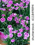 Small photo of bright pink and violet small flowers of plant family caryophyllaceae, knows as dianthus chinensis or rainbow pink, carnation or sweet wiliam common names.