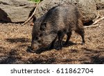 american pigs peccaries in the... | Shutterstock . vector #611862704