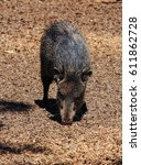 american pigs peccaries in the... | Shutterstock . vector #611862728