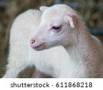 Closeup Of A Cute Lamb On A Farm