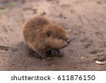 north american beaver kit ... | Shutterstock . vector #611876150