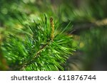 green pine bud and needles.... | Shutterstock . vector #611876744