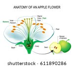 anatomy of an apple flower.... | Shutterstock .eps vector #611890286