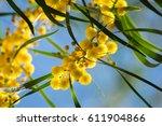 Blossoming Of Mimosa Tree ...