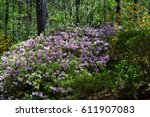 bush of purple flowers on green ... | Shutterstock . vector #611907083