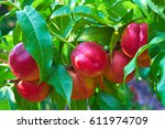 Sweet Nectarines On Tree