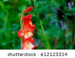 A Gladiolus Flower Growing In...