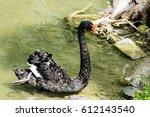 Elegant Black Swan Swimming In...