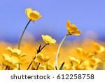 Summer Buttercups In The...