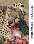 Cheetah eating thomson's gazelle, Serengeti National Park, Tanzania - stock photo