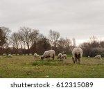 Farm Sheep Grazing And Relaxing ...