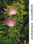 Small photo of Flowering Albizia julibrissin in close up