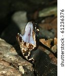 Small photo of Cottonmouth (Agkistrodon piscivorus) in Shawnee National Forest of southern Illinois