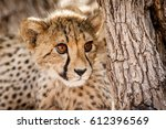 cheetah cub in a tree in namibia | Shutterstock . vector #612396569