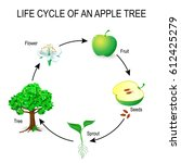 life cycle of an apple tree.... | Shutterstock .eps vector #612425279