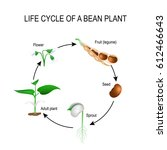 Life Cycle Of A Bean Plant....