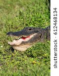 Small photo of American Alligator (alligator mississippiensis) basking in the sun in the Florida Everglades