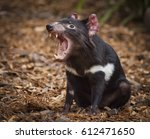 Tasmanian Devil  They Are...