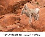 Two Desert Big Horned Sheep...