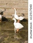 Duck Nineteen  Two White Ducks...