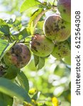 Small photo of Fruits Infected by the Apple scab Venturia inaequalis. Orchard. Macro.