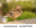 Wild Duck  Anas Platyrhynchos